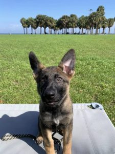 German Shepherd potty training